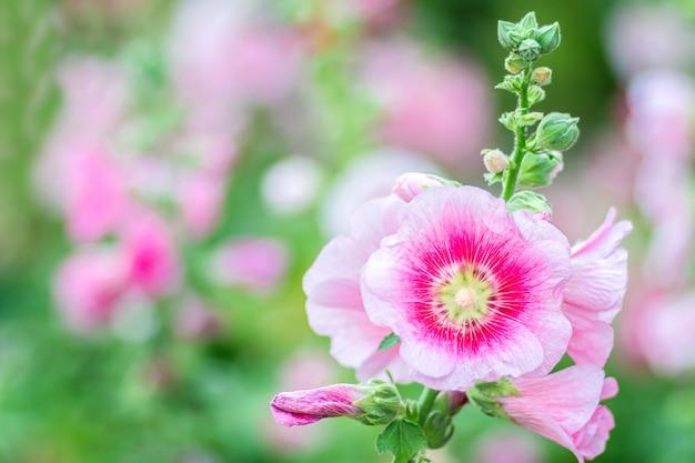 Fleurs holly hock (rose trémière) rose dans le jardin