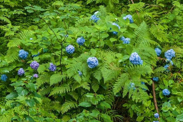 Fleurs d'hortensia bleu, été hortensia bleu hortensia