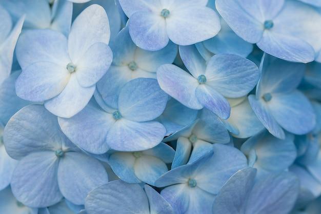 Fleurs d'hortensia bleues en fleurs dans un jardin.