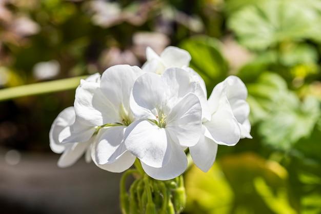 Fleurs d'hortensia grimpantes blanches