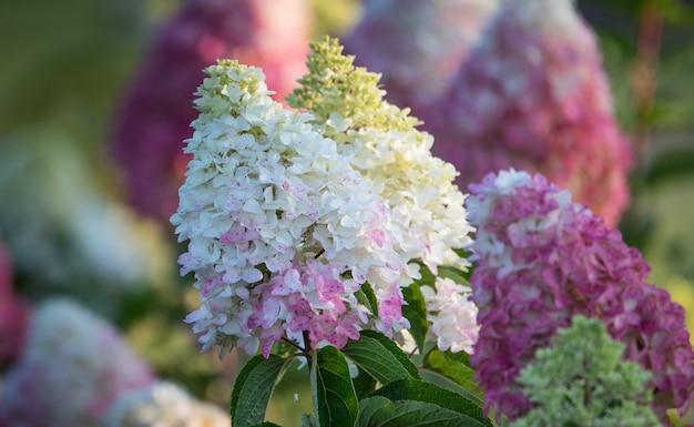 Fleurs d'hortensia rose et blanc