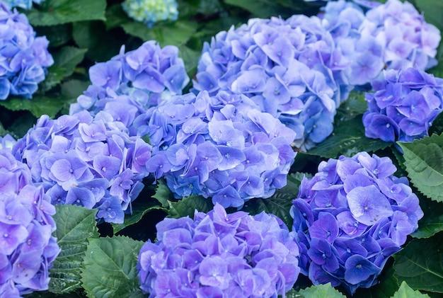 Fleurs d'hortensias violets dans le jardin
