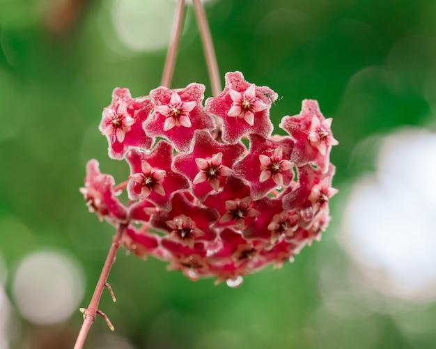 Fleurs de hoya rouges en fleurs se bouchent