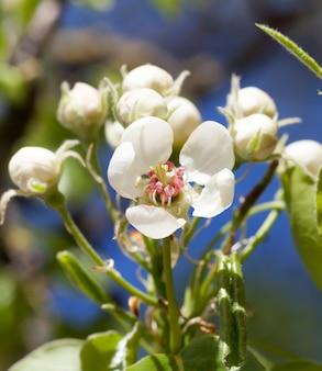 Fleurs inhabituelles de pommiers au printemps, jardin de printemps fruitier de production industrielle
