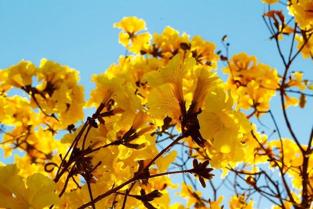 Les fleurs de l'ipe jaune c'est une espèce d'arbre du genre handroanthus