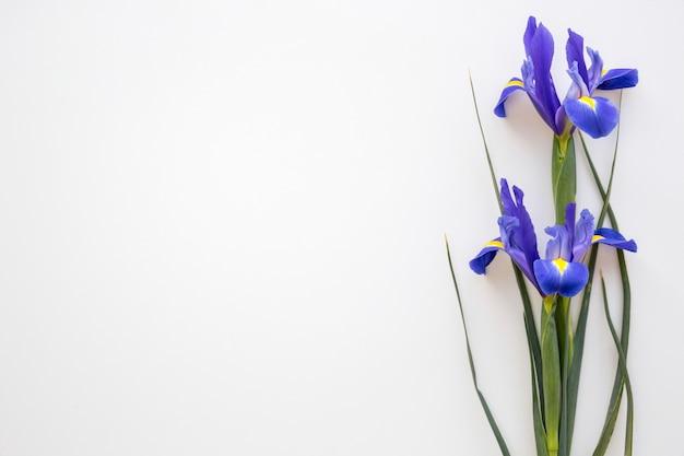 Fleurs d'iris pourpre sur isolé sur fond blanc