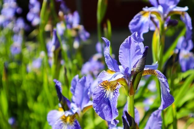 Fleurs d'iris violet en fleurs dans le jardin jardinage concept fleur fond