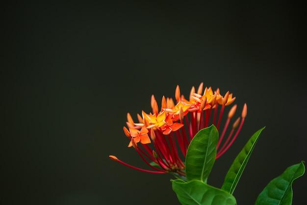 Fleurs d'ixora