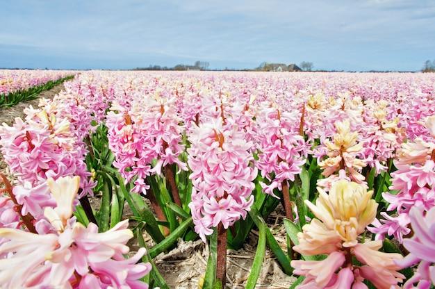 Fleurs de jacinthe de printemps, pays-bas