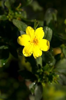 Fleurs de jardin, jasmin en fleurs jaunes.sur une branche au feuillage luxuriant. début du printemps