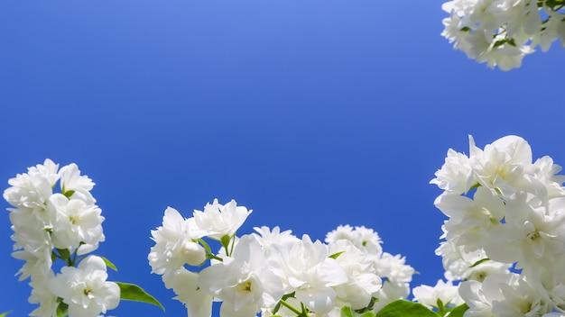Fleurs de jasmin dans le jardin en gros plan de branches avec des fleurs blanches contre le ciel bleu
