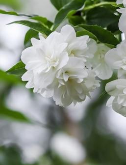 Fleurs de jasmin en éponge blanche dans le jardin