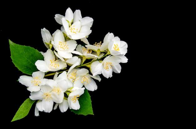 Fleurs de jasmin sur un fond noir