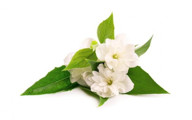 Fleurs de jasmin isolés sur fond blanc