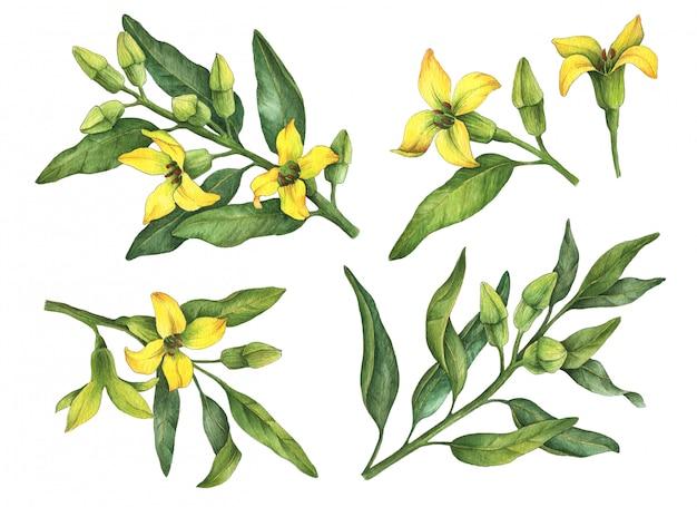 Fleurs jaunes aquarelle isolés sur blanc