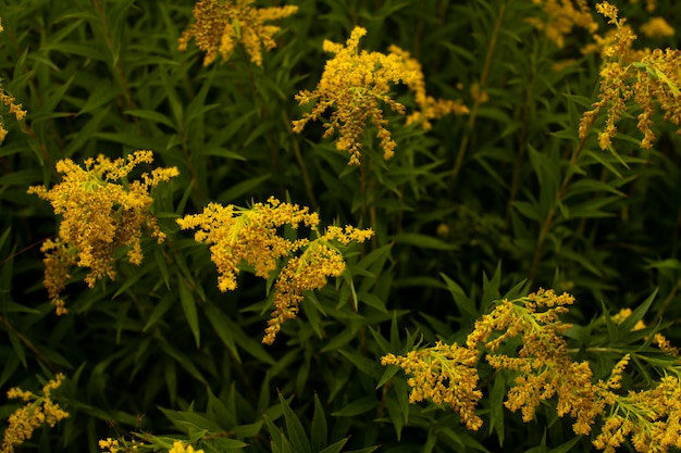 Fleurs jaunes sur les buissons verts