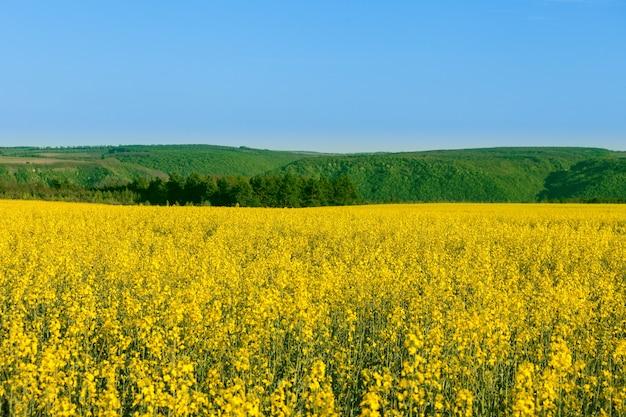 Fleurs jaunes sur un champ