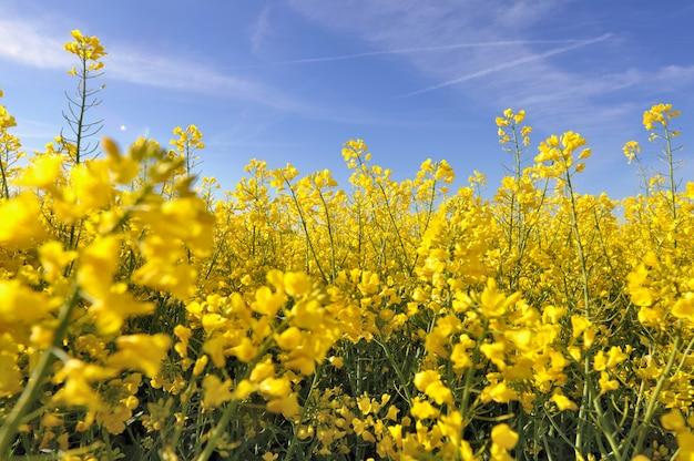 Fleurs jaunes de colza