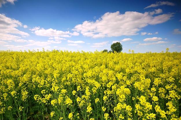 Fleurs jaunes dans un champ avec des nuages