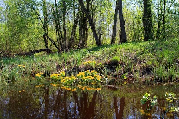 Fleurs jaunes dans un marais profond