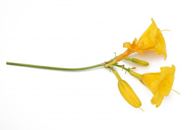 Fleurs jaunes hémérocalle sur un espace blanc