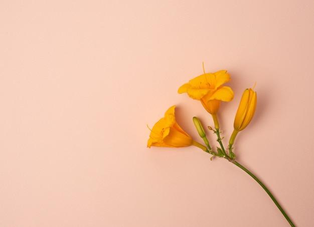 Fleurs jaunes hémérocalle sur fond beige