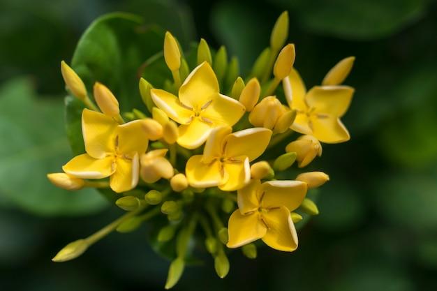 Fleurs jaunes d'ixora