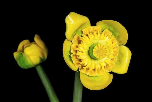 Fleurs jaunes nénuphars sur fond sombre fleurs et plantes