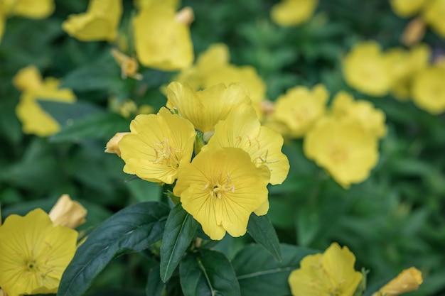 Fleurs jaunes d'oenothera fruticosa pour la conception d'emballages de graines. primevère jaune en fleurs.