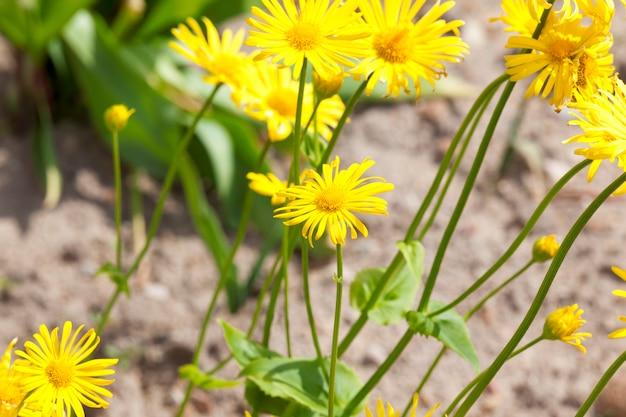 Fleurs jaunes sur une prairie au printemps