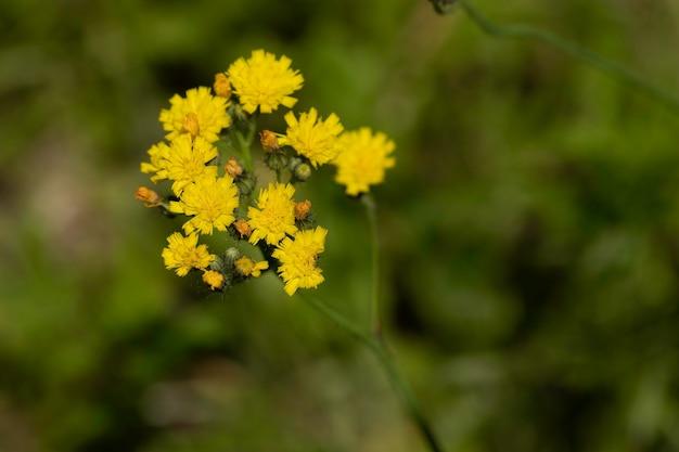 Fleurs jaunes sauvages dans le domaine de l'herbe sèche autour d'une journée ensoleillée