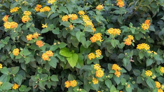 Fleurs jaunes tropicales lantana avec des feuilles vertes, chypre.