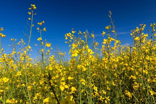 Fleurs jaunes de viol, photographiées sur fond de ciel bleu, faible profondeur de champ