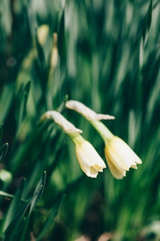 Fleurs de jonquille, de plus en plus, à effet de serre, printemps, bouquet