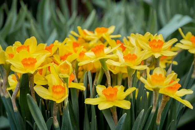 Fleurs de jonquille qui fleurissent au printemps