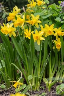 Fleurs de jonquille qui fleurissent dans le jardin au printemps
