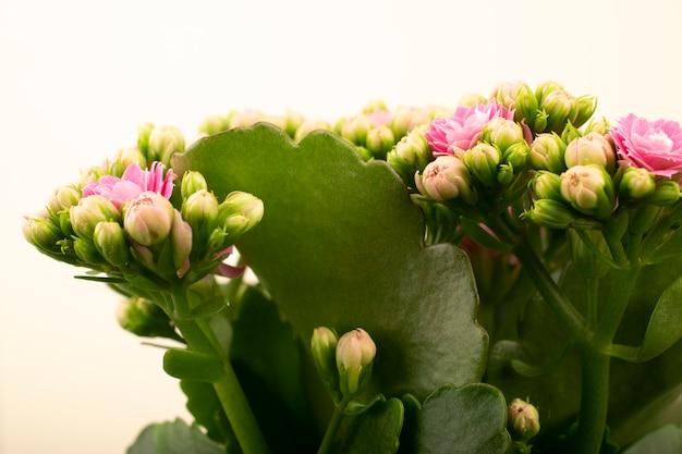Fleurs de kalanchoe.