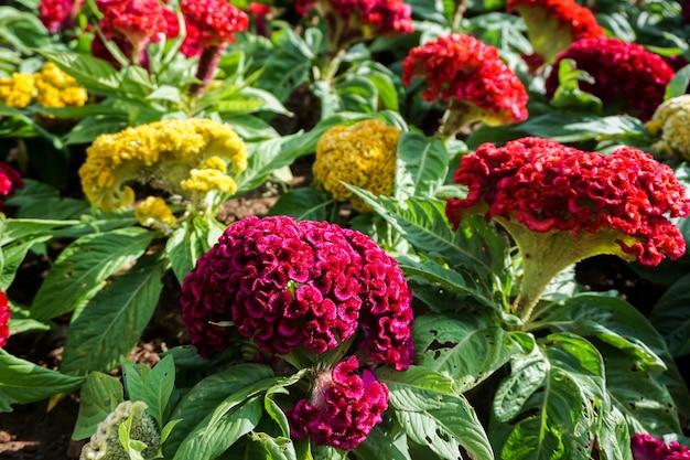 Fleurs de laine chinoise en fleurs sur le sol