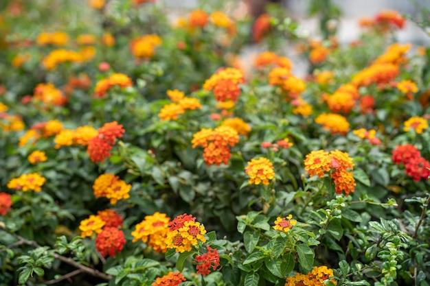Fleurs de lantana camara en fleurs pour le fond