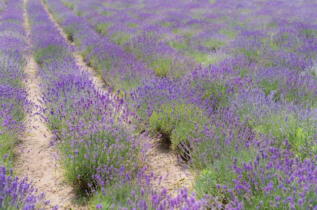 Fleurs de lavande coucher de soleil sur un fond de champ de lavande violet d'été. bouquet de fleurs parfumées dans les champs de lavande.