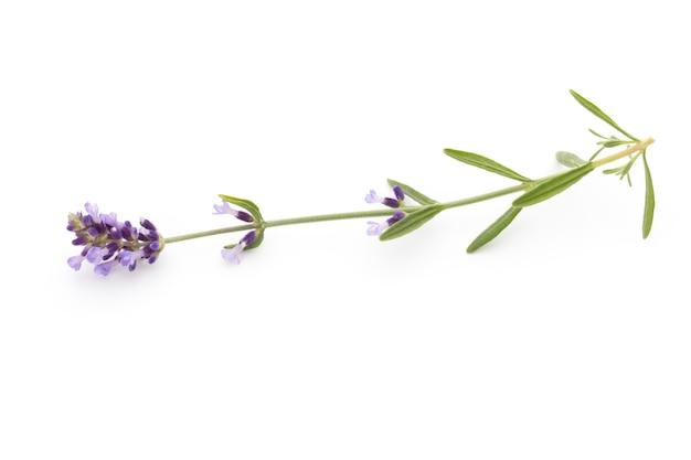 Fleurs de lavande sur un fond blanc.