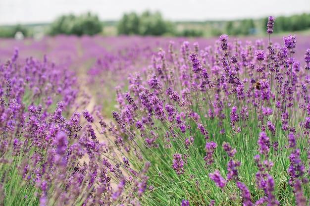 Fleurs de lavande. fond de champ de lavande pourpre d'été. bouquet de fleurs parfumées dans les champs de lavande