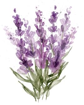 Fleurs de lavande isolés sur fond blanc illustration botanique aquarelle dessinés à la main