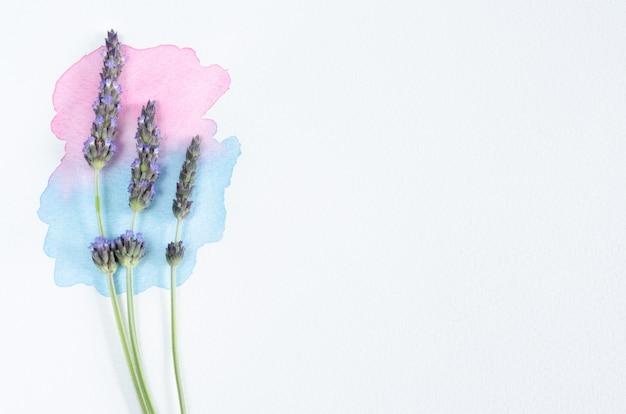 Fleurs de lavande avec peinture aquarelle sur fond blanc