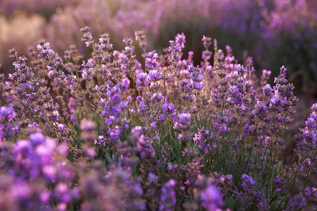 Fleurs de lavande pourpre dans le domaine