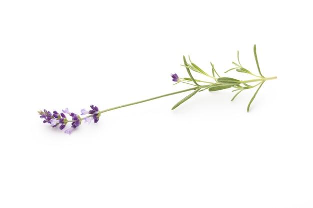 Fleurs de lavande sur une surface blanche.