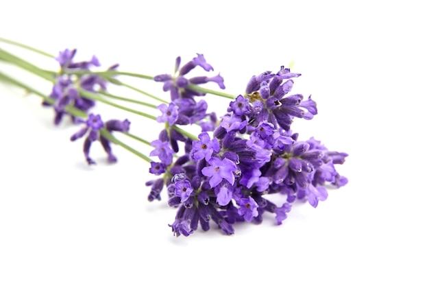 Fleurs de lavande violettes isolées