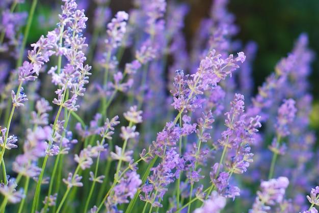 Fleurs de lavande violettes violettes dans le champ de la floraison.