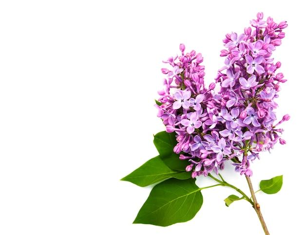 Fleurs lilas isolées