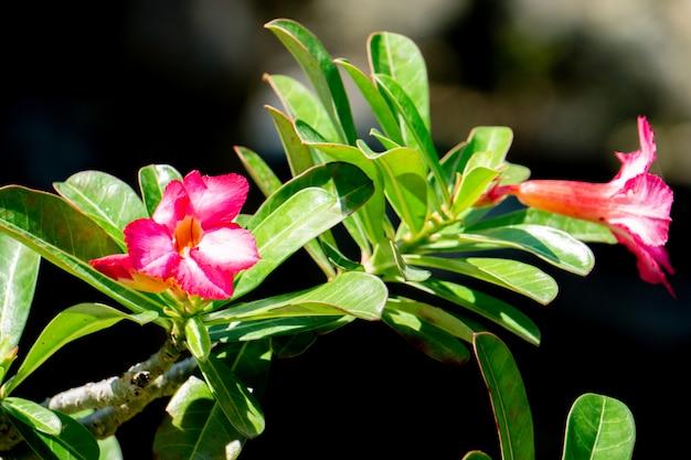 Fleurs de lis impala. lily impala. fleur rose du désert du climat tropical.